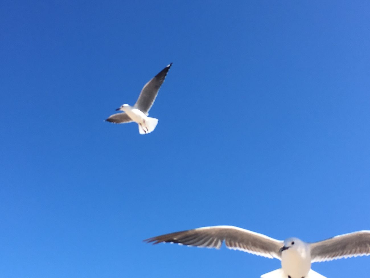 Seagulls In Flight Animal Themes Seagulls Unfiltered Low Angle View Spread Wings Clear Sky Blue Day Outdoors No People Minimalism Negative Space IPhoneography EyeEmNewHere EyeEmNewHere