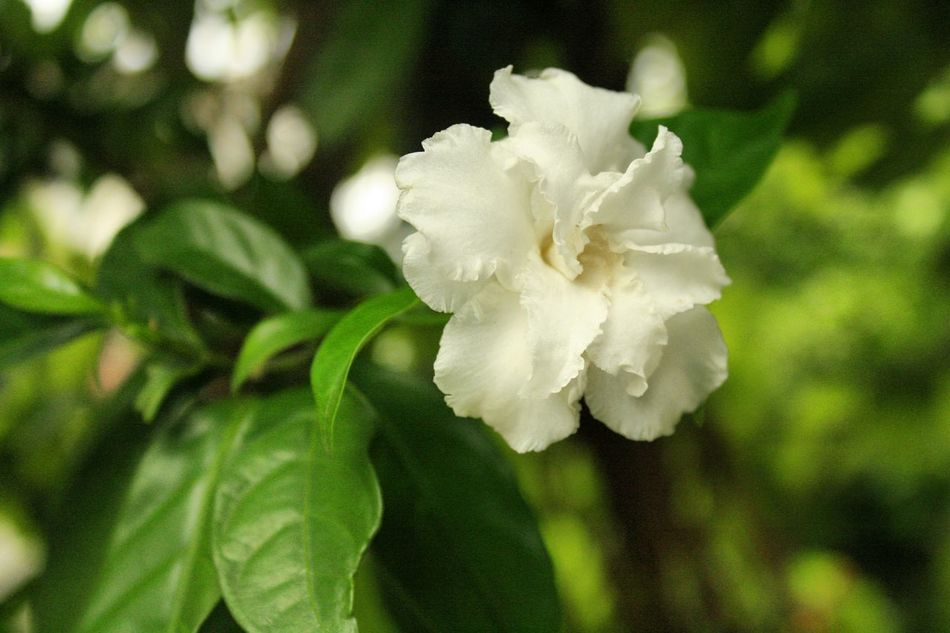 White&green Beauty In Nature Flower Head Flower Nature Growth Leaf Green Color Blooming Canon😉 Thailand🇹🇭