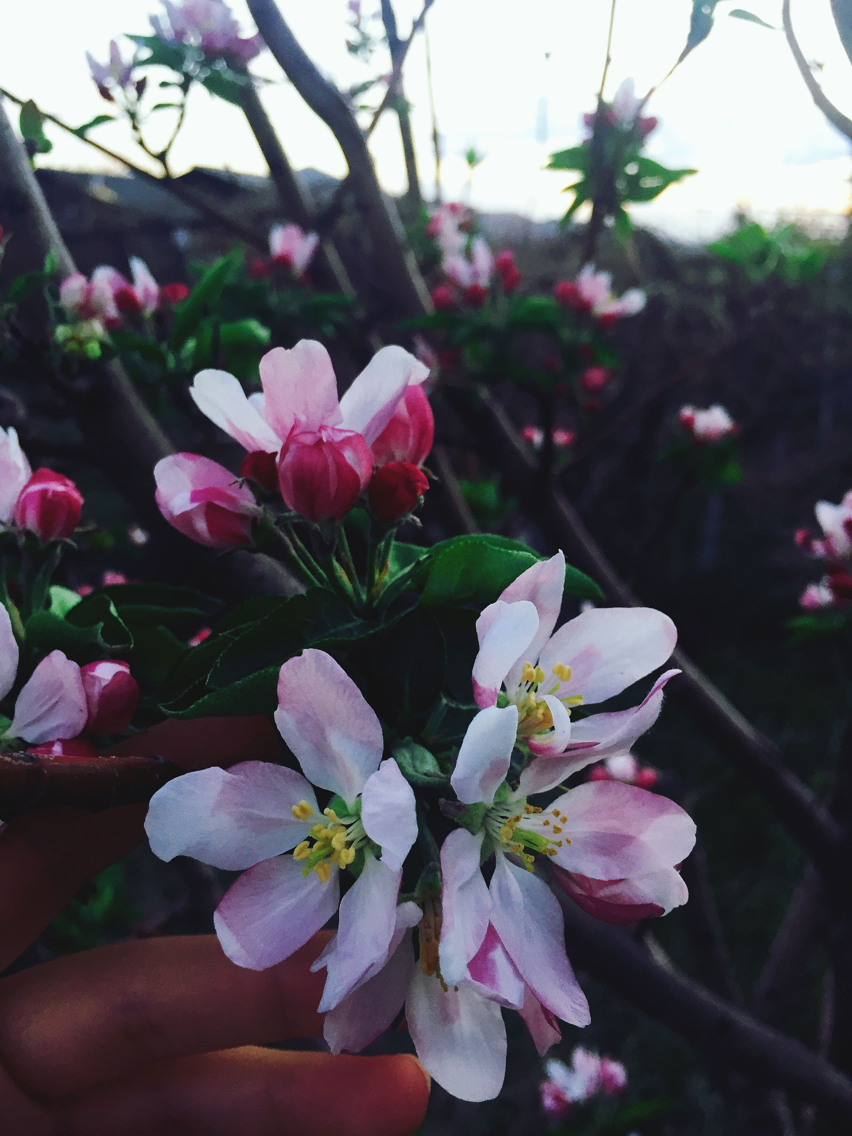 flower, freshness, growth, fragility, nature, beauty in nature, pink color, petal, close-up, flower head, no people, focus on foreground, blooming, springtime, plant, outdoors, day, rhododendron, tree, plum blossom