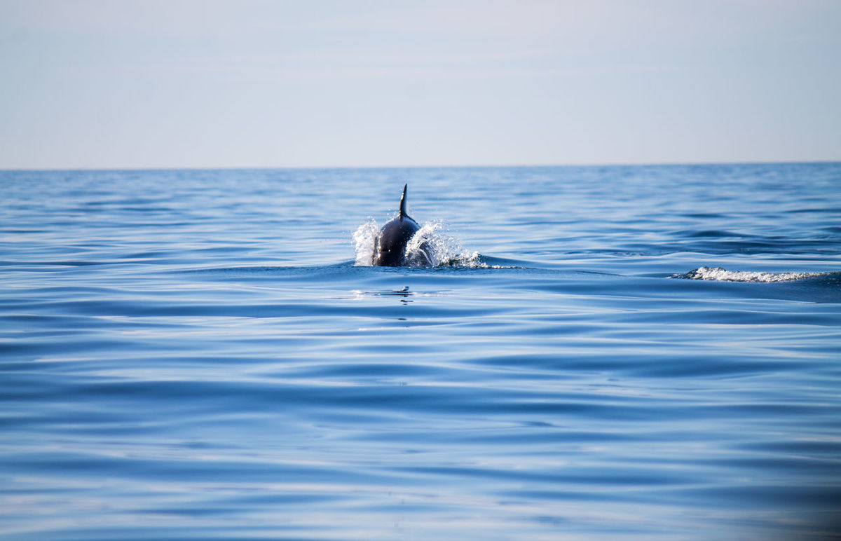 Albufeira Algarve Animal Themes Animal Wildlife Animales Animals Animals In The Wild Delfin Delphin Dolphin Dolphin Watching  Horizon Over Water Mar Meer Nature One Animal Portugal Sea Sea Life Swimming Tiere Water Lost In The Landscape