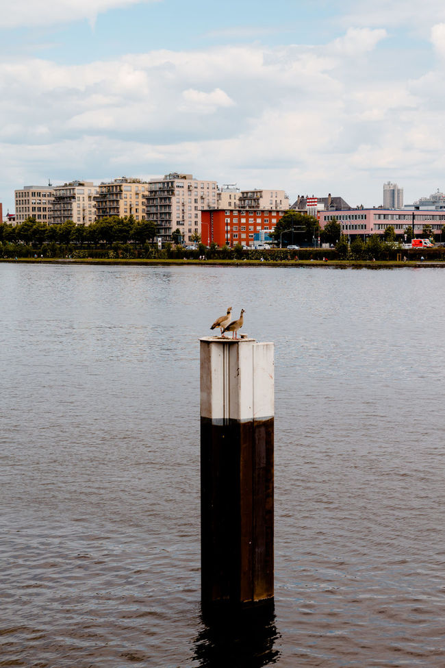 Egyptian Geese Animal Themes Animals In The Wild Architecture Bird Building Exterior Built Structure Canal City Cloud - Sky Egyptian Goose Engineering Flying In Front Of Main Medium Group Of Animals No People Outdoors Perching Residential District Seagull Sky Water Waterfront Wildlife Wooden Post