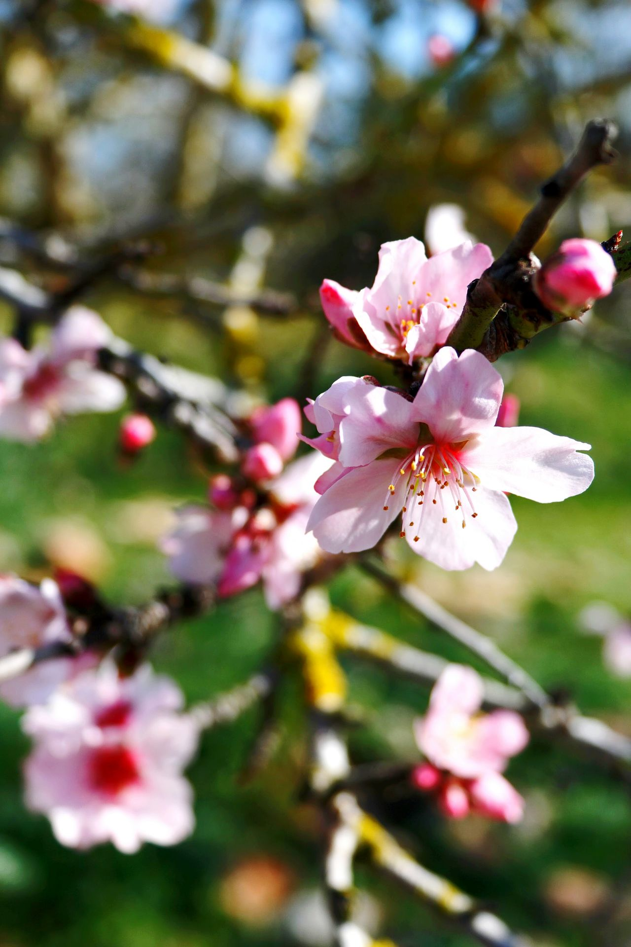 Almond Blossom Nature Growth Blossom Springtime Beauty In Nature Almond Tree Freshness Pink Color No People Fragility Branch Plant Spring Blossoms Spring Has Arrived Blossoms  Beliebte Fotos Walking Around Taking Pictures EyeEm Nature Lover Check This Out Canonphotography Outdoors