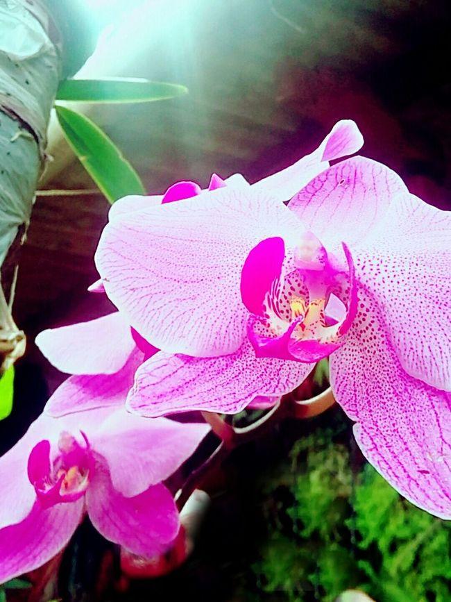 OrquideaBambu Flower Photography Spring Flowers Pinkpurpletheme First Eyeem Photo