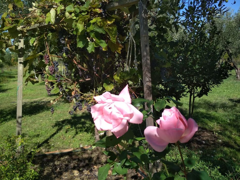 Beauty In Nature Flower Nature Pink Color Close-up Relax❤️ Nature GREECE ♥♥ Beauty In Nature Kamena Vourla Greece