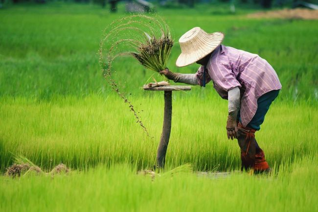 Farmer Farmer Farm Havesting In Thailand Cultivate People Green Field Rice Ricefield Thailand