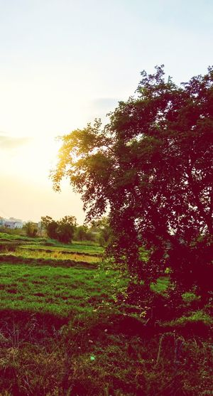 sunrise Tree Nature Outdoors Growth Landscape Agriculture No People Beauty In Nature Sky Day Grass Freshness Close-up Scenics Rural Scene
