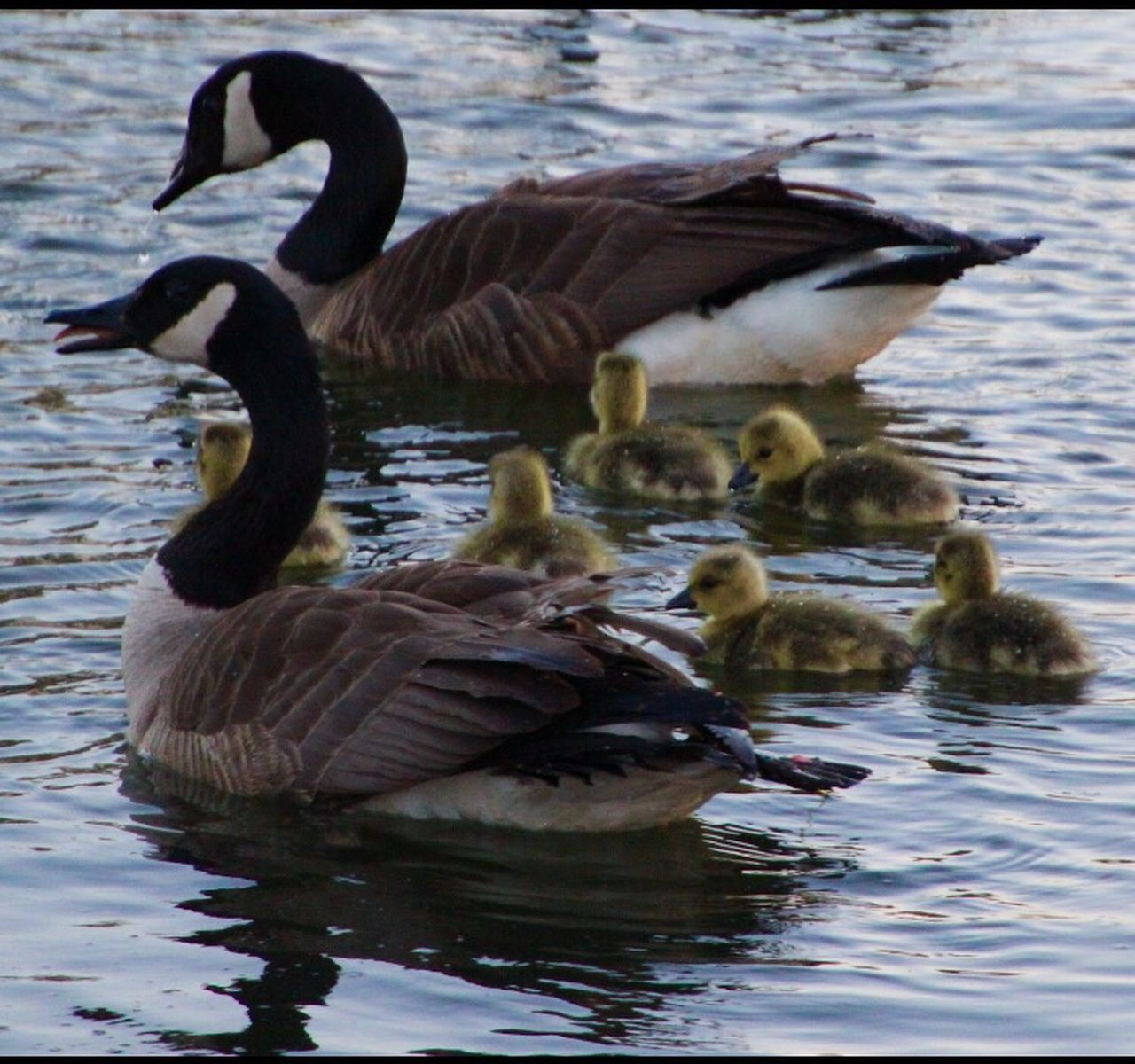 animal themes, animals in the wild, lake, water, bird, swimming, animal wildlife, waterfront, nature, day, goose, water bird, no people, outdoors, togetherness