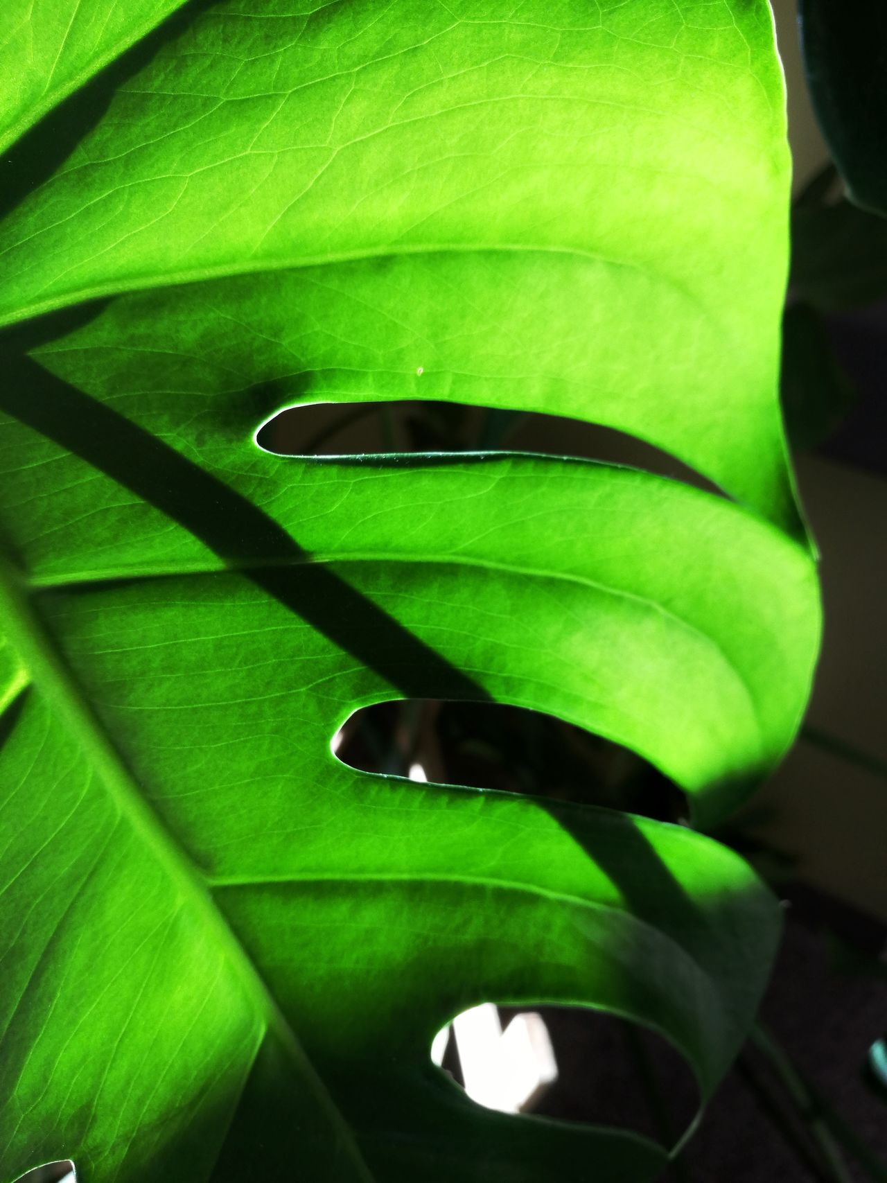 nr.87Green Color Leaf Close-up No People Biology Growth One Animal Nature Freshness Indoors  TheWeekOnEyeEMDay Monster Green Monsters Beauty In Nature Growing Plants Green Nature Green Plant Plants And Garden Freshness Nature Plant Green Color Growing