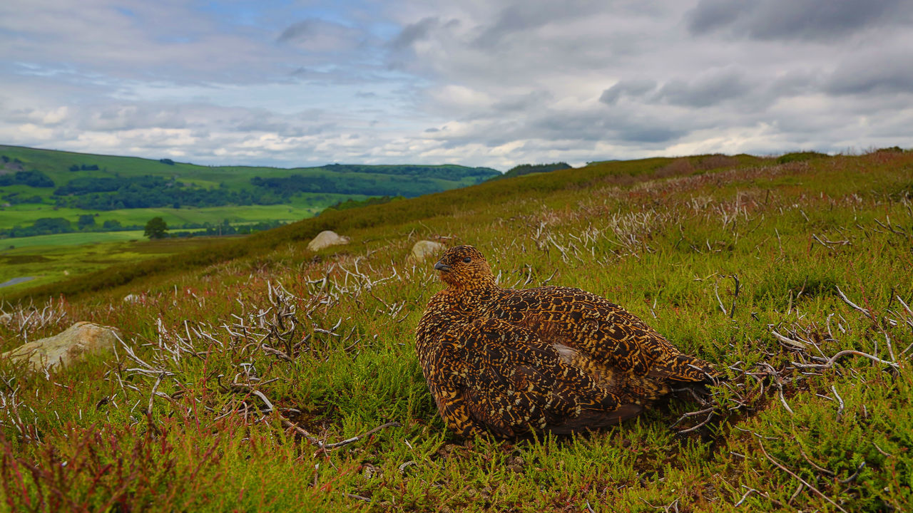 Red Grouse on a cloudy day - landscape with bird Lagopus Lagopus Scotica Animal Themes Beauty In Nature Cloud - Sky Cloudy Grassy Landscape Moor  Red Grouse Resting Scenics Tranquil Scene Tranquility Wide Angle View