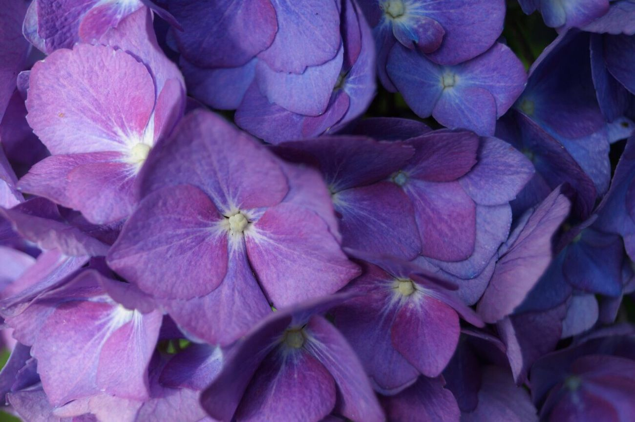 Outdoors Flower Petal Flower Head Plant Purple Fragility Nature Close-up Day Beauty In Nature Freshness Blooming
