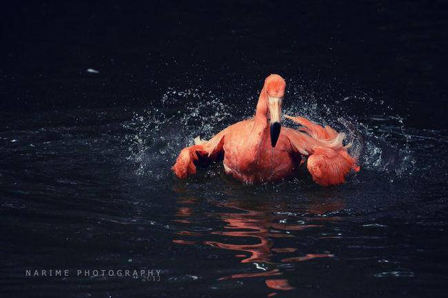 Flamingo Bird Water Narime