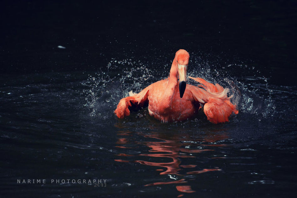 Flamingo Bird Water Narime