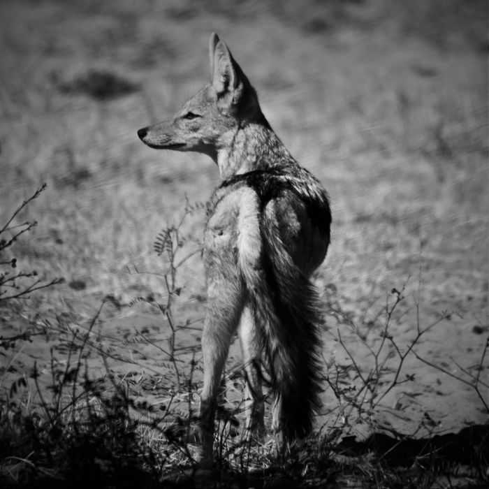 A Jackal poses in the heat of the day. Africa Animal Animal Head  Animal Photography Animal Themes Animals In The Wild Black & White Botswana EyeEm Best Edits EyeEm Best Shots EyeEm Best Shots - Black + White EyeEm Best Shots - Nature EyeEm Nature Lover Grass Hair Jackal Monochrome National Park Nature Nature_collection Sand Tail Wildlife Wildlife & Nature Wildlife Photography