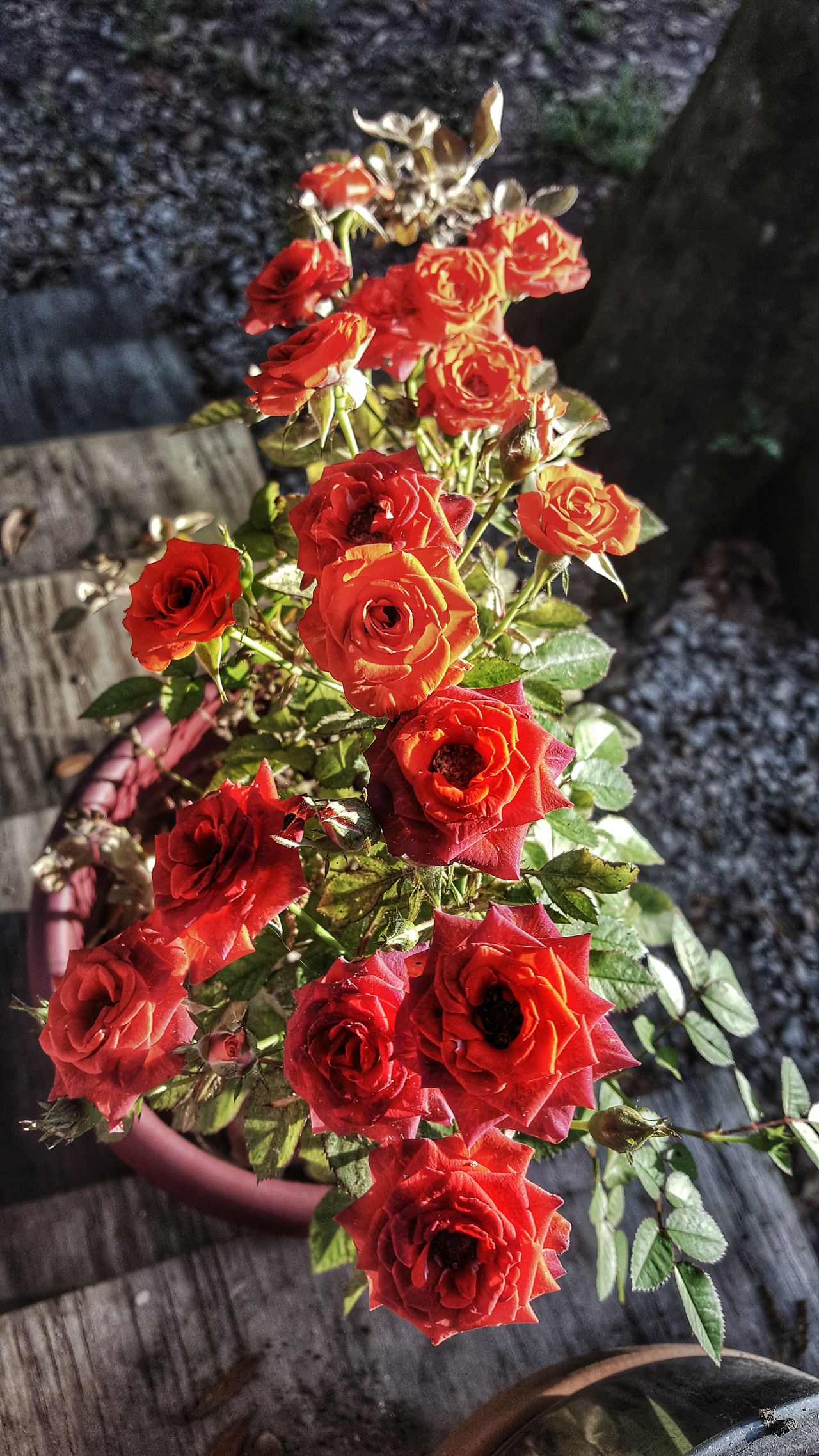 My little rose plant is happy this year Red Freshness No People Nature Close-up Beauty In Nature Flower Outdoors Day South Louisiana Roses Flowers  Mini Roses Red Blossoms  Contrast Treebark