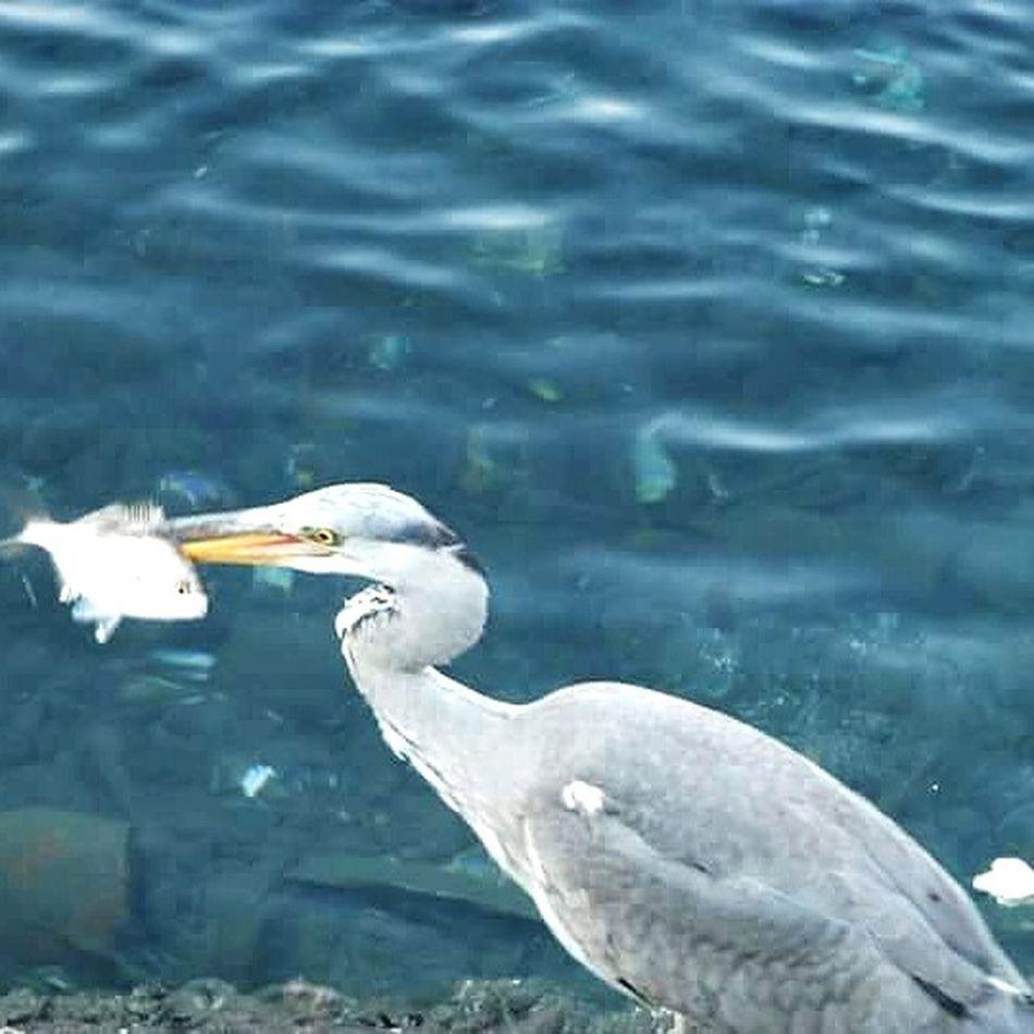 BIRD : AIRONE CINERINO THE PAST Animal Themes