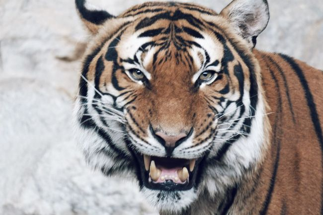 Animals In The Wild Tiger EyeEm Best Shots Eye4photography  Nature_collection Showcase April EyeEm Nature Lover
