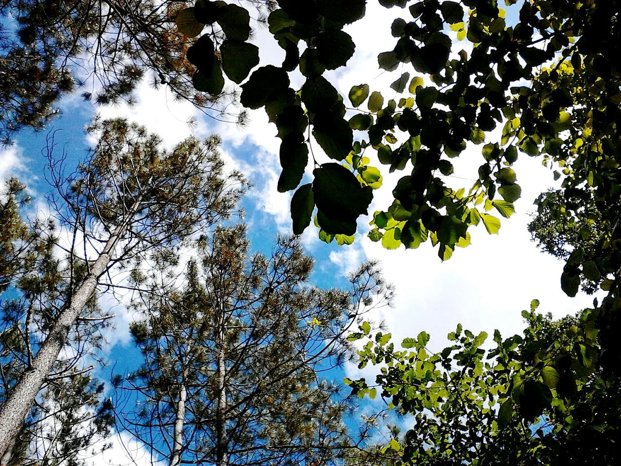 Sky is the limit. Eyeemnaturelover Eyeemnature Takingphotos Green Trees Sky Clouds Clouds And Sky Florest Relax Enjoyingtheview Pinetrees Leaves Upwards Color Contrast Dreaming Skyisthelimit