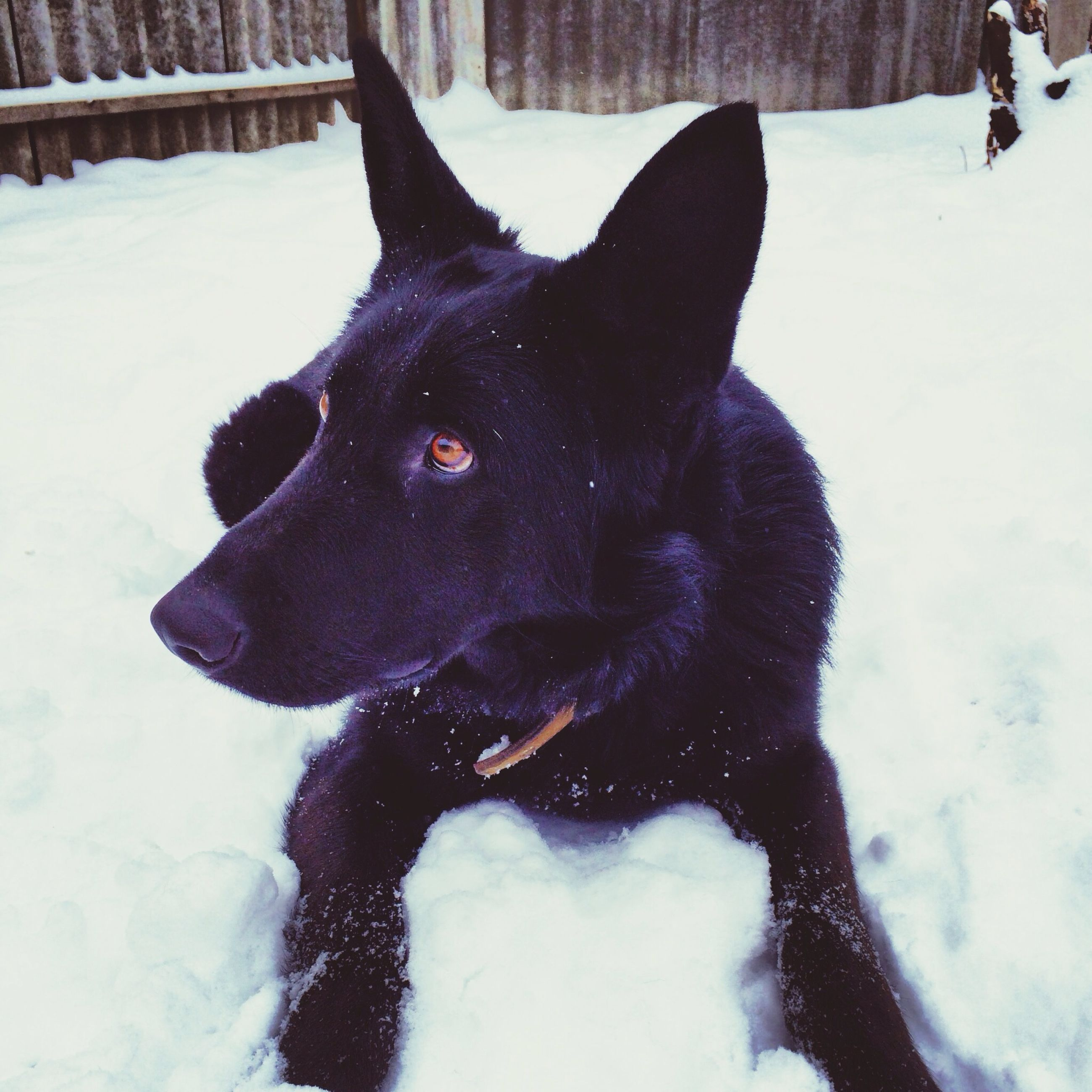 snow, winter, cold temperature, domestic animals, pets, dog, season, mammal, animal themes, weather, one animal, covering, white color, field, black color, frozen, nature, covered, day, outdoors