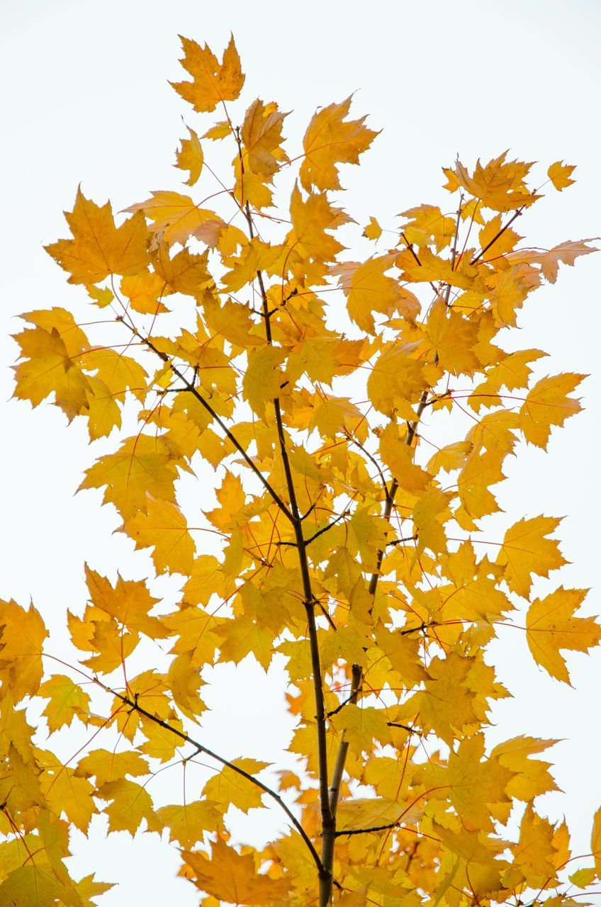 autumn, leaf, nature, yellow, flower, beauty in nature, growth, change, white background, no people, tree, fragility, day, branch, outdoors, sky, maple, freshness, close-up