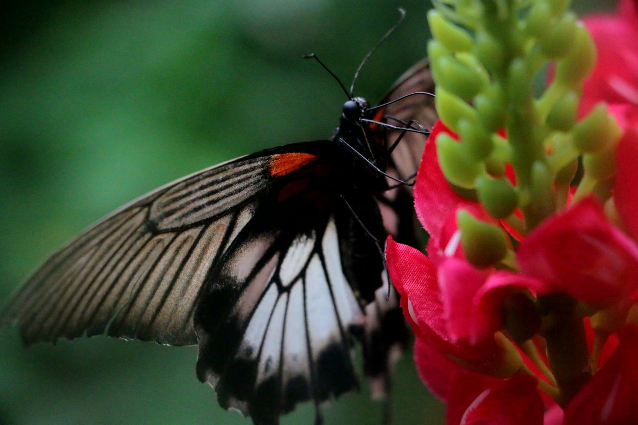 A Beautiful creation of Nature.. 🙏 Insect Flower Animal Themes Animals In The Wild One Animal Beauty In Nature Nature Close-up Butterfly - Insect Plant Red Fragility Freshness Pollination No People Outdoors Day Flower Head Beauty In Nature City Life No Filter NoEdits