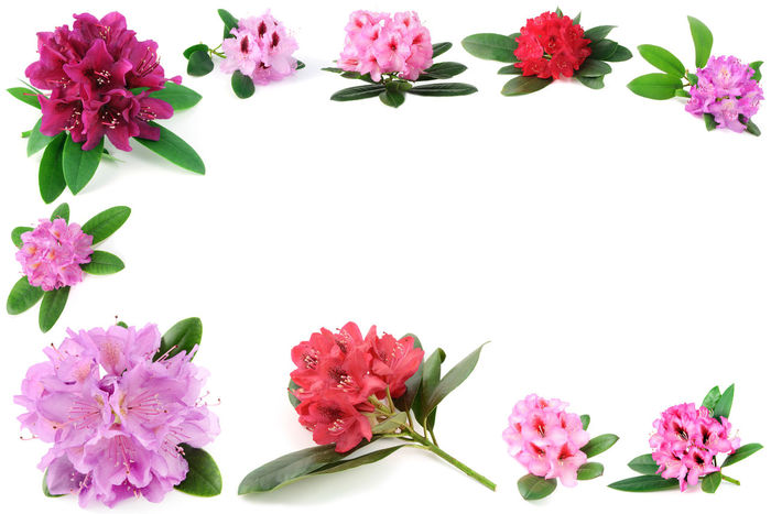 frame of isolated rhododendron flower heads. copy space Blooming Botany Flower Flower Head Freshness Petal Pink Pink Color Purple Rhododendroninfullbloom Blossom Rhododendron Rhododendrons Rhododendroninbloom Rhododendronblossoms Isolated White Background Isolated Frame Frame It! Copyspace Copy Space