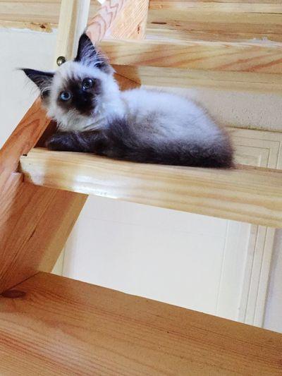 Pets Ragdoll Cat Barfi MyBoy