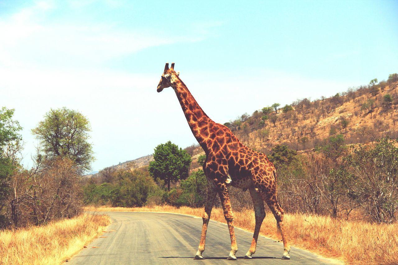 Beautiful stock photos of giraffe, Animal Behavior, Animal Themes, Animals In The Wild, Cloud