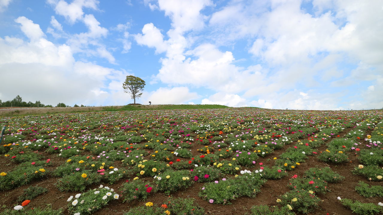 field, cloud - sky, sky, nature, beauty in nature, tranquility, tranquil scene, day, agriculture, no people, scenics, landscape, growth, outdoors, rural scene, flower, freshness