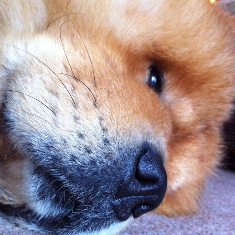 ChowChow at My place ;) by Kevin Richardson