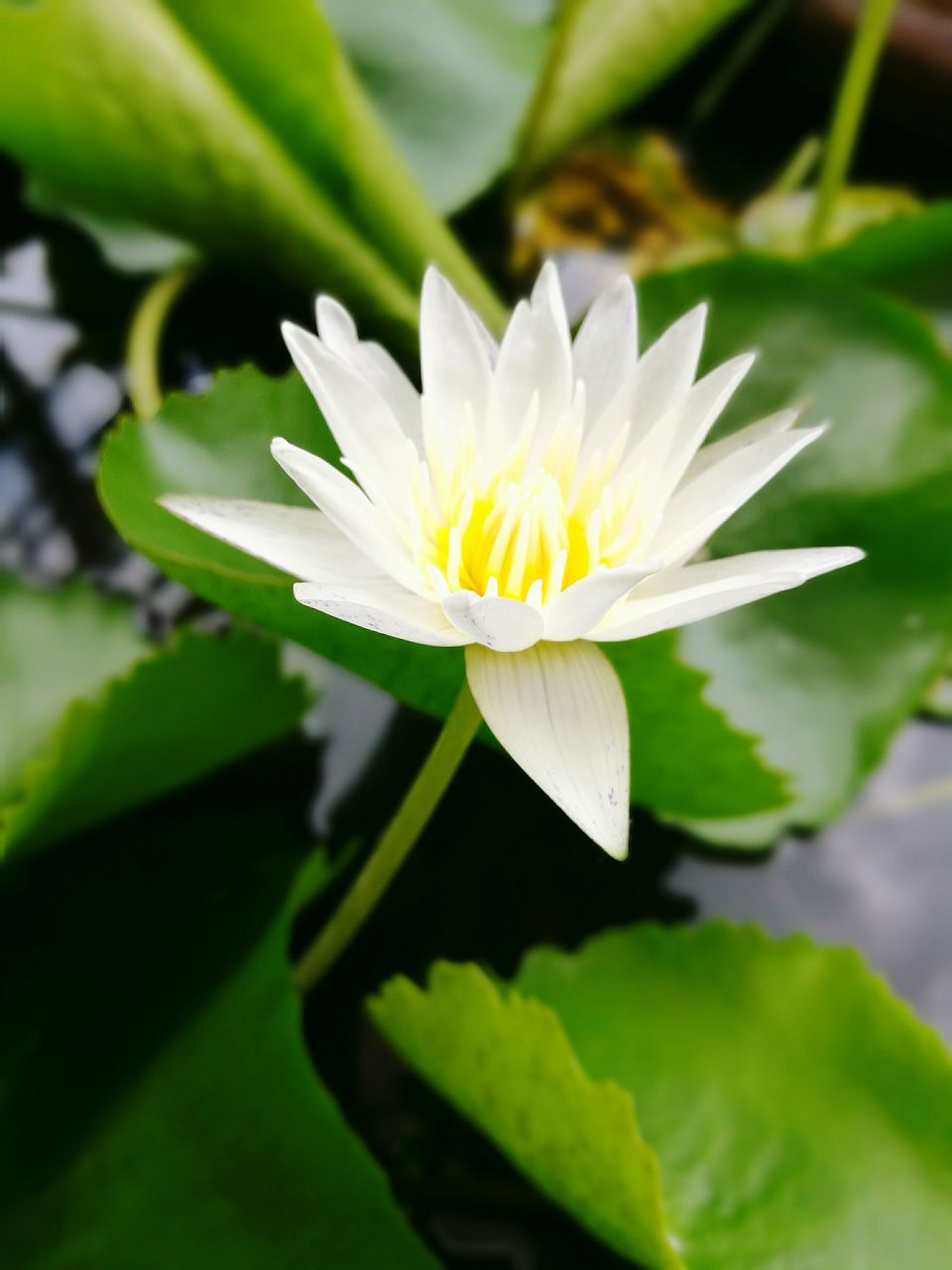 flower, petal, beauty in nature, nature, fragility, freshness, flower head, growth, white color, plant, leaf, water lily, green color, close-up, no people, lotus water lily, blooming, day, outdoors, lily pad