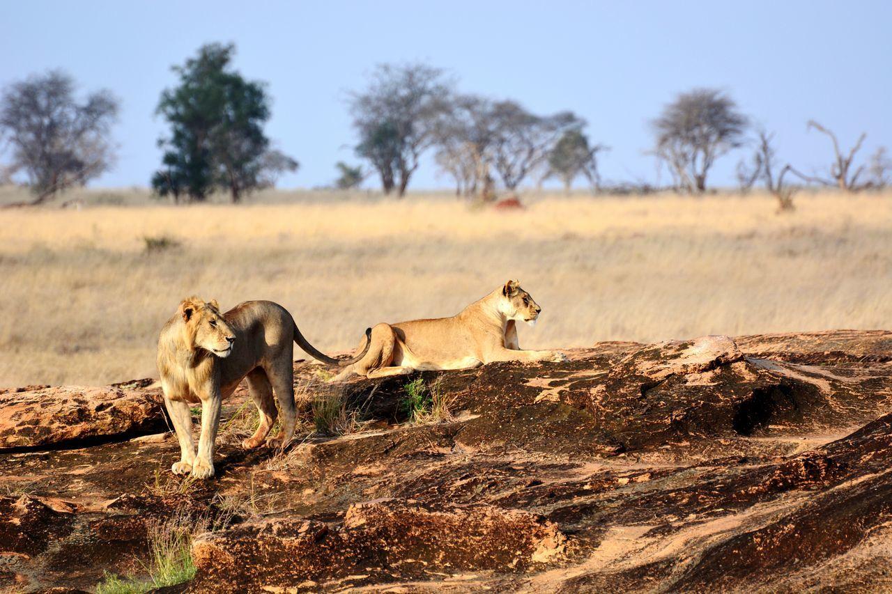 Animals In The Wild Safari Animals Tsavo King Of The Jungle Lions Animal Wildlife Kenya