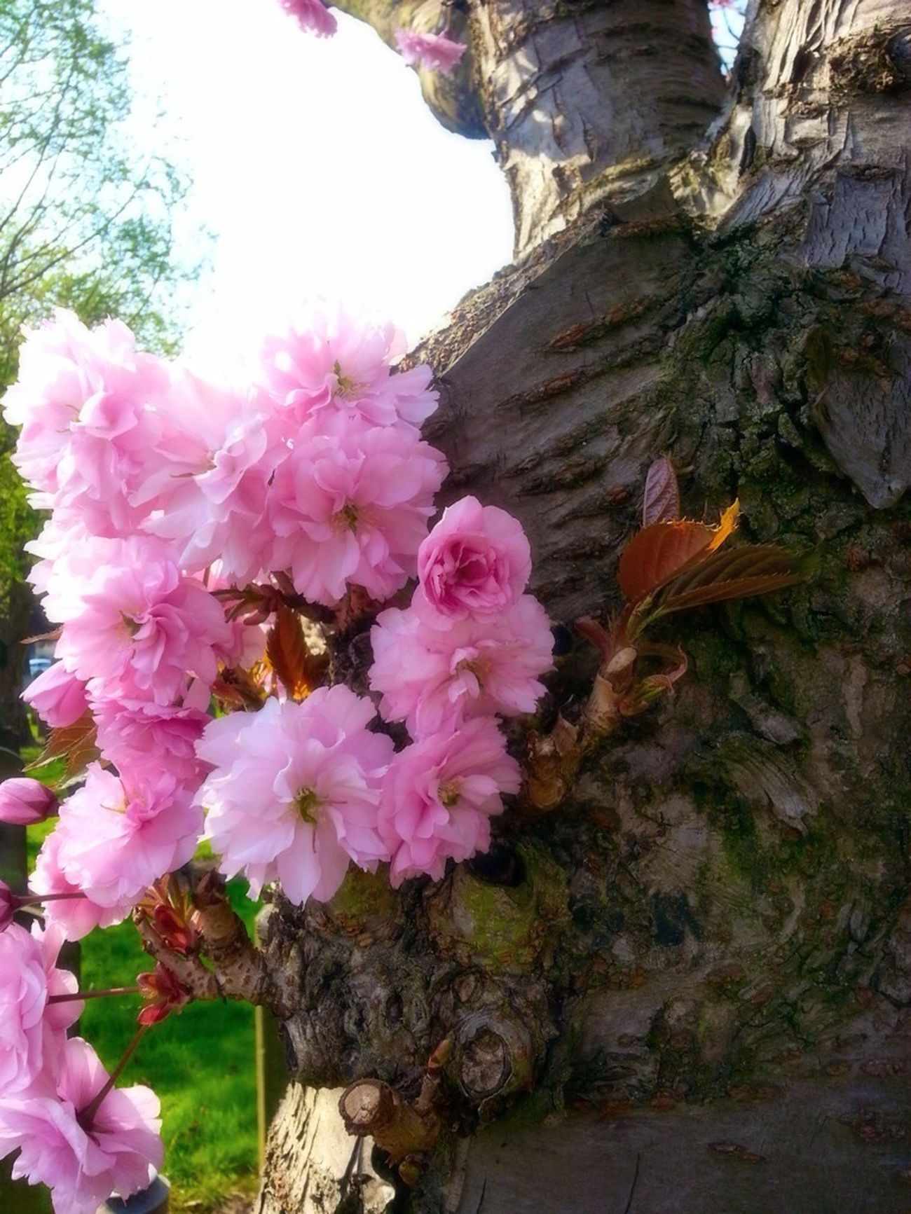 Cherry Blossom TreePorn Pink Bark Texture