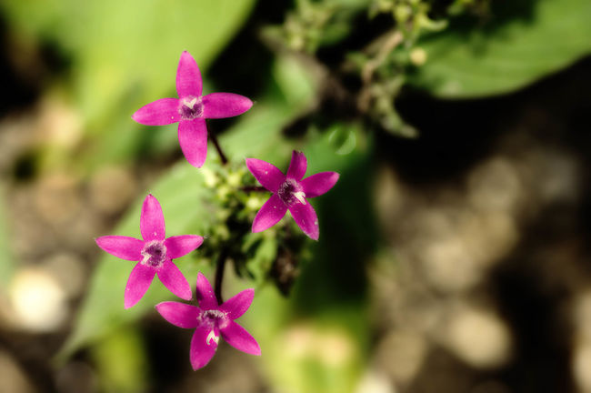 """""""reaching for the stars"""" Beauty In Nature Botany Close-up Flower Focus On Foreground Freshness Macro Beauty Macro Photography Macro_collection Nature Nature_collection Naturelovers No People Petal Plant Selective Focus Tranquility"""