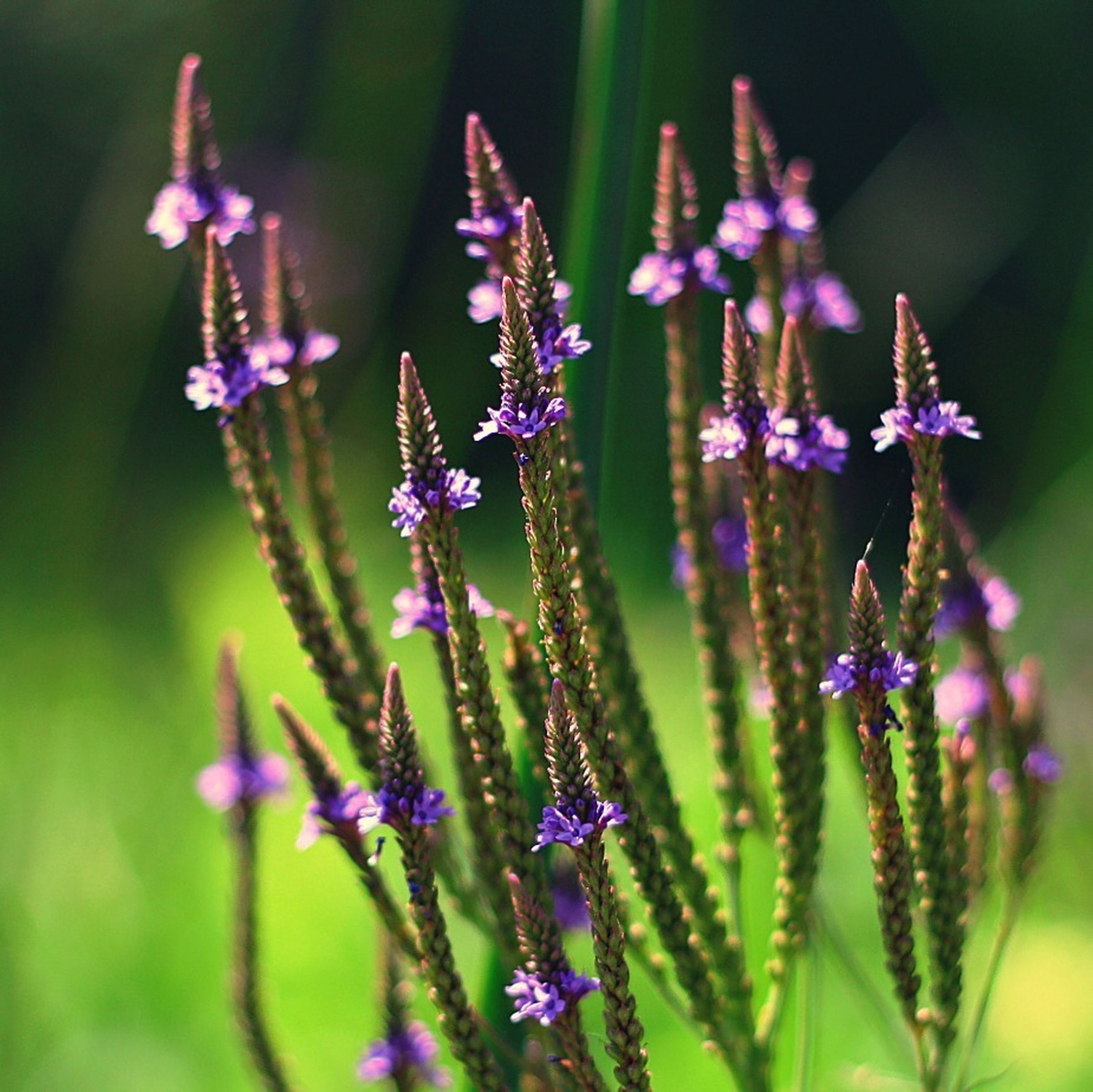 flower, purple, freshness, growth, fragility, focus on foreground, beauty in nature, close-up, plant, nature, petal, selective focus, stem, flower head, blooming, field, in bloom, day, wildflower, outdoors