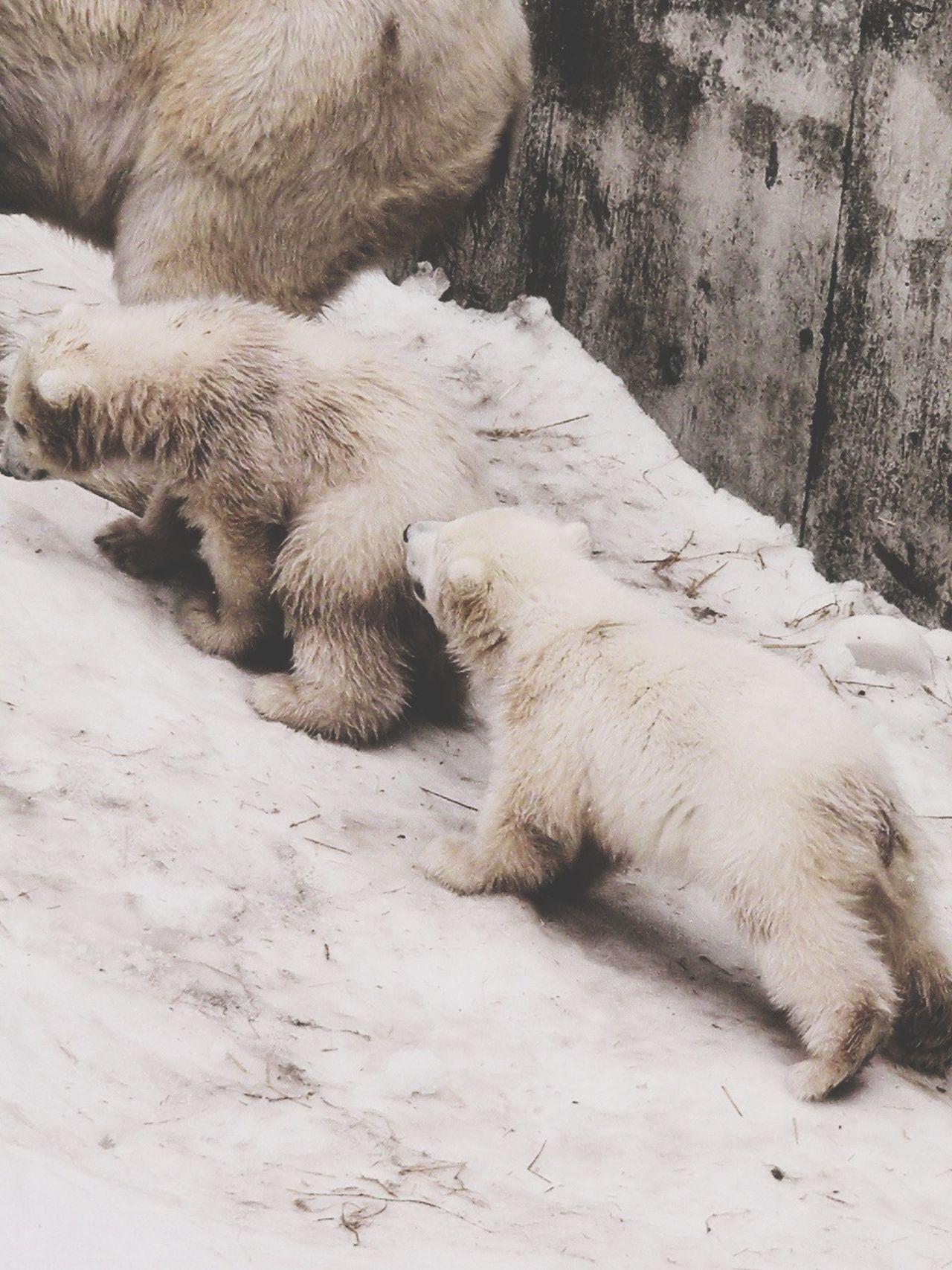 Born in December 2012 Baby Polar Bear