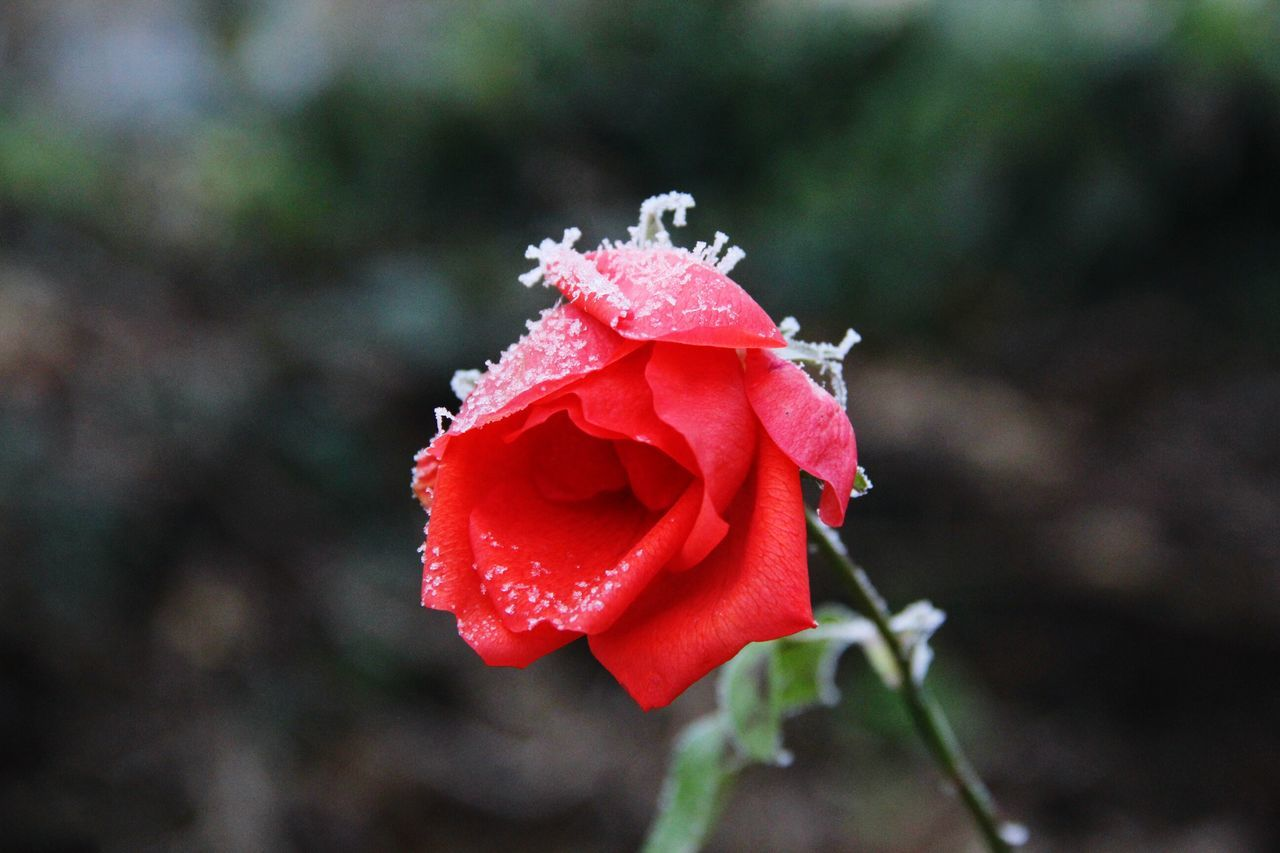 Flower Nature Petal Beauty In Nature Red Freshness Flower Head Plant Outdoors No People Day Sunlight Winter Cold Temperature 2016 EyeEm Dezember Hobby Canon EyeEm Best Shots Fotografie First Eyeem Photo Garten Beauty In Nature