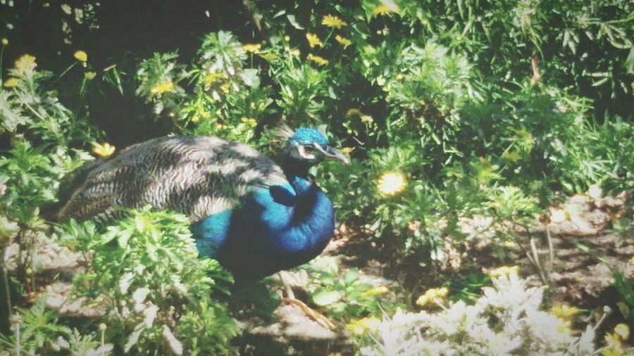 Pavão Sightseeing Beautiful Animal Encantos Da Cidade Nature Lisbon Estufafria