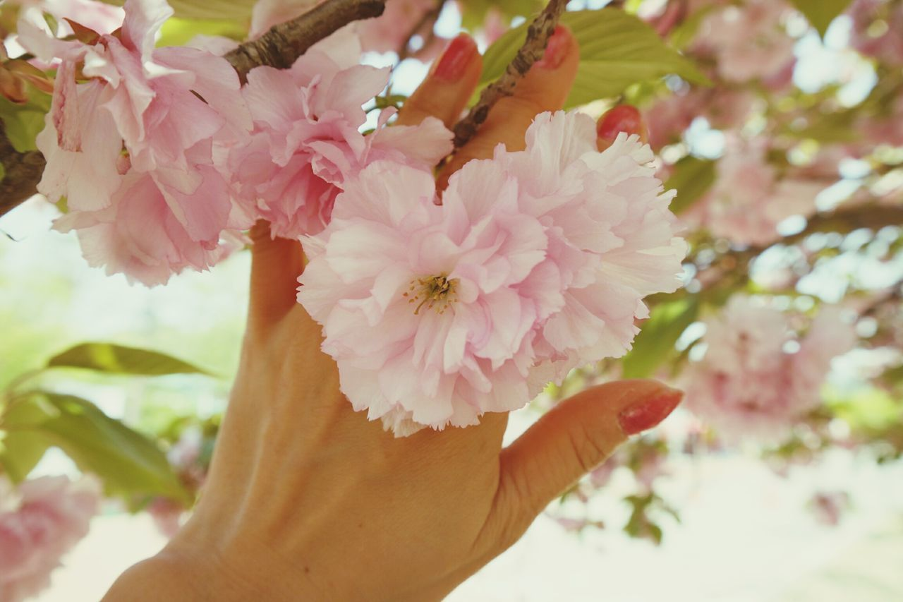 flower, petal, pink color, real people, fragility, close-up, beauty in nature, flower head, one person, human body part, human hand, freshness, outdoors, day, nature, plant, growth, people