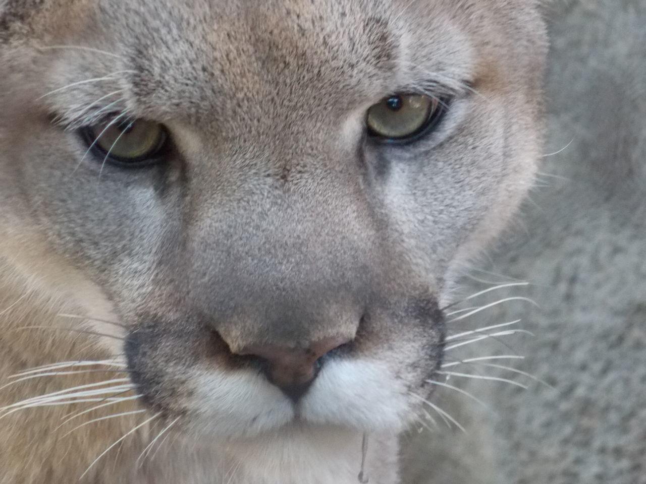 Beautiful stock photos of puma, Alertness, Animal Body Part, Animal Head, Animal Themes