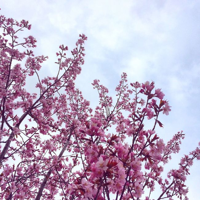 Cherry Blossoms Pink Flower