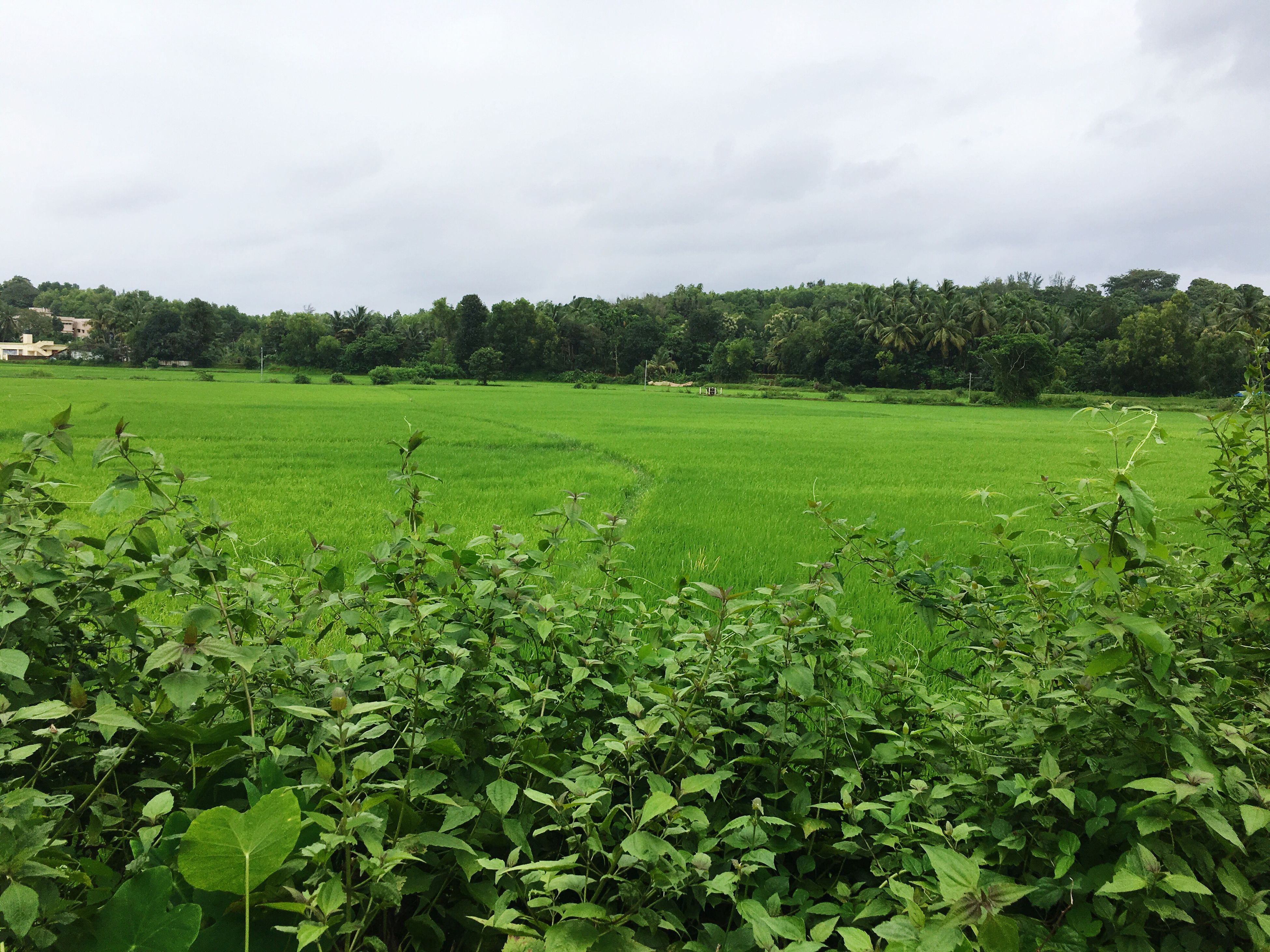 field, green color, tranquil scene, plant, scenics, growth, sky, tranquility, rural scene, beauty in nature, landscape, nature, agriculture, flower, crop, freshness, farm, cultivated land, cloud - sky, day, non-urban scene, outdoors, no people, cultivated, lush foliage, green, vibrant color, cloudy, fragility, majestic, springtime