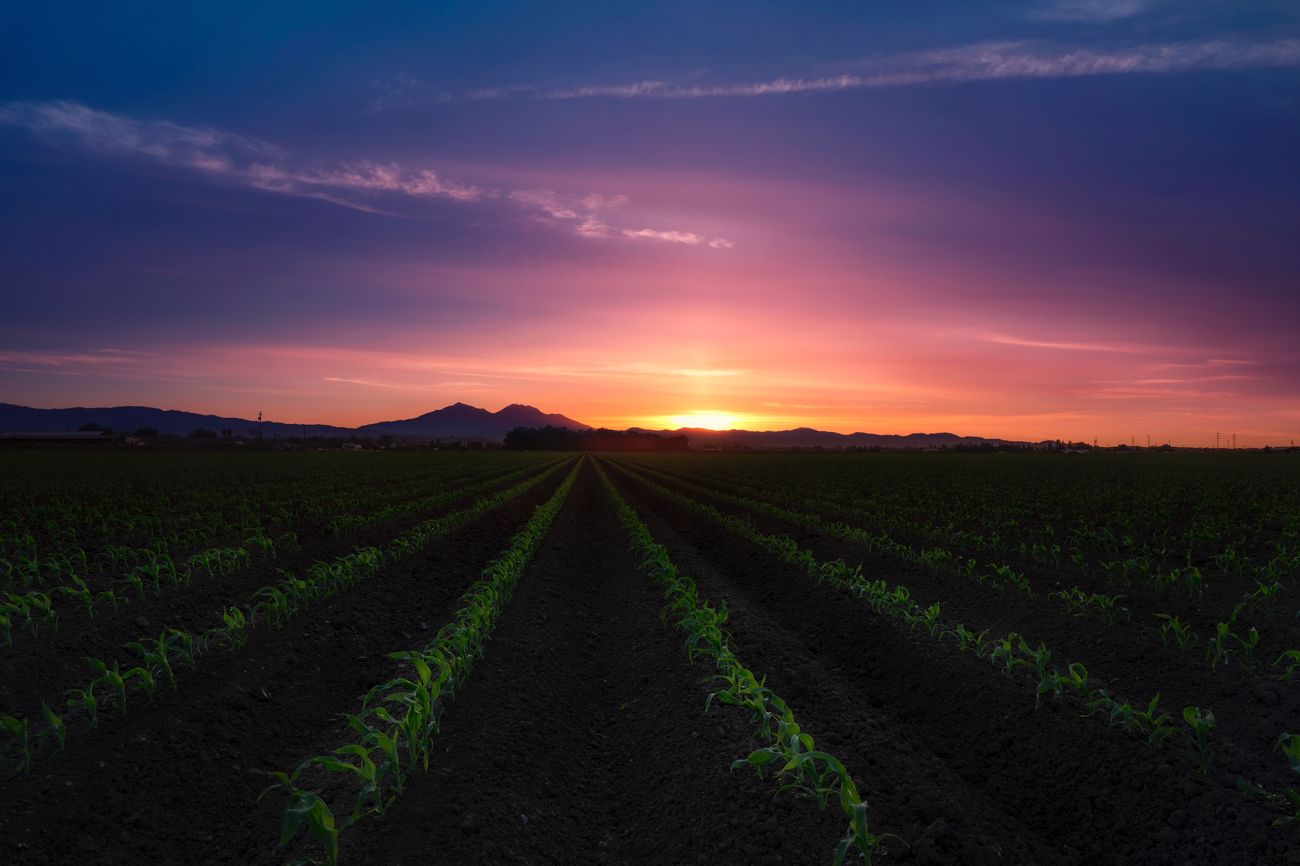 New Beginnings :) Agriculture Field Rural Scene Sunset Beauty In Nature Farm Scenics Growth Landscape Green Color Nature Outdoors Plant Cloud - Sky Sky Tea Crop Dramatic Sky Field No People Idyllic Beauty In Nature
