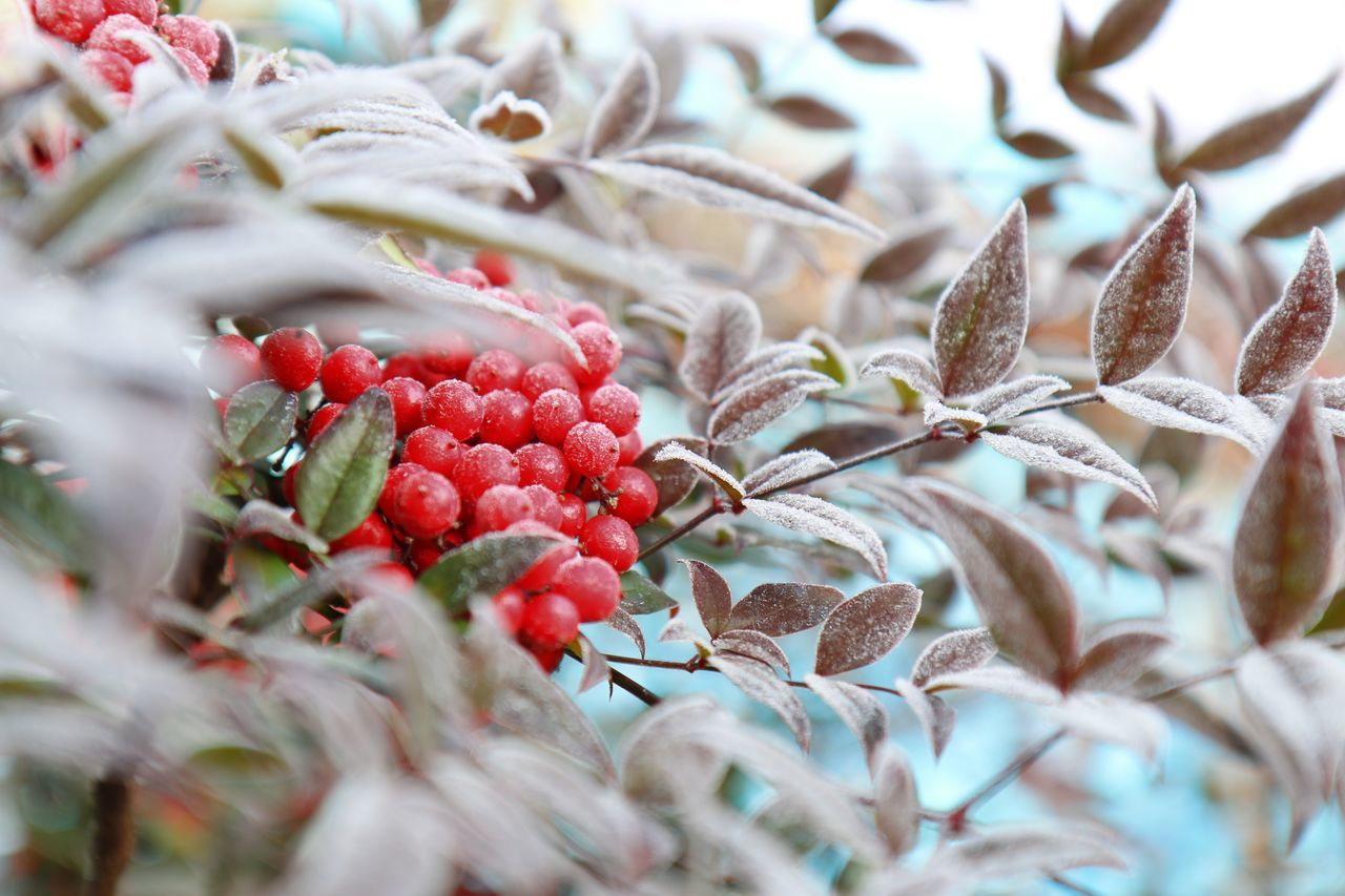 Abstract Beauty In Nature Berries Botany Check This Out Close-up Cold Macro Cold Temperature Colour Of Life EyeEm Nature Lover Fine Art Photography Food Freshness Frozen Fruit Getting Inspired Growth Hello World Leaf Nature Outdoors Red Taking Photos Winter