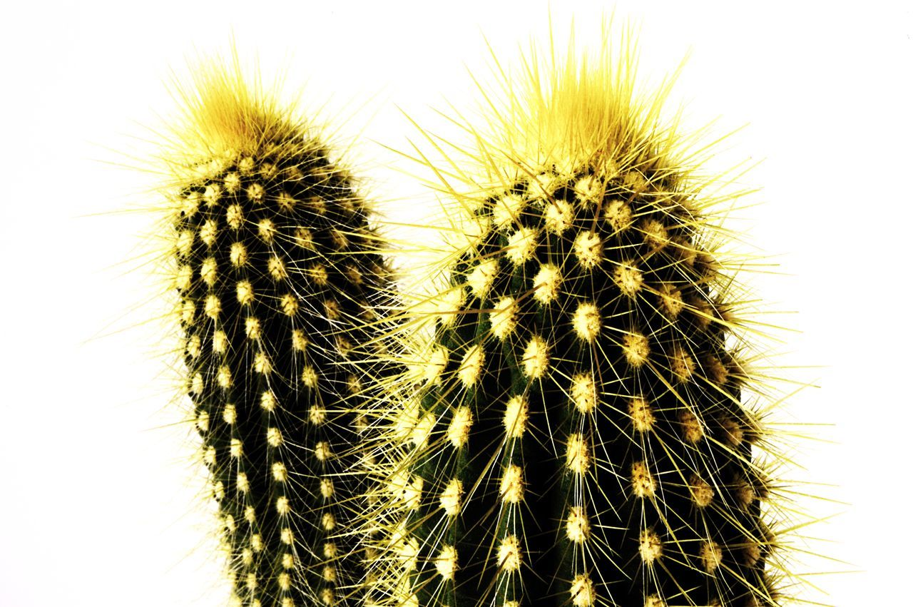 thorn, cactus, spiked, growth, nature, beauty in nature, no people, plant, close-up, day, outdoors, freshness