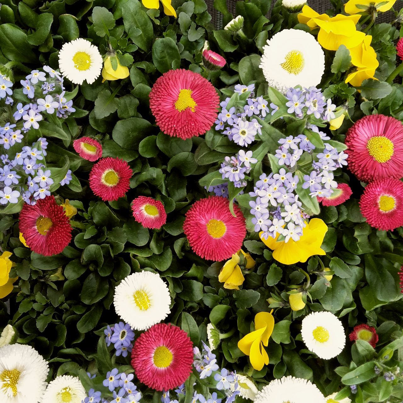 Colorful spring flowers Flower Freshness Beauty In Nature Petal Fragility Nature Plant Multi Colored Flower Head Growth No People Beauty Outdoors Day First Flowers Springtime Spring Colorful Color Joyful Full Frame Close-up Blooming Forget Me Not Daisy pansy