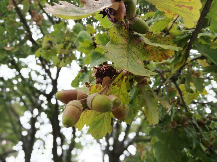 Nature Beauty In Nature Outdoor Photography Color Photography The Purist (no Edit, No Filter) Capture The Moment Day Fruit Food Tree Branch Healthy Eating Leaf Outdoors Growth Nut - Food Agriculture Hanging Low Angle View Freshness No People Beauty In Nature Ghiande Осень 🍁🍂 Autumn🍁🍁🍁