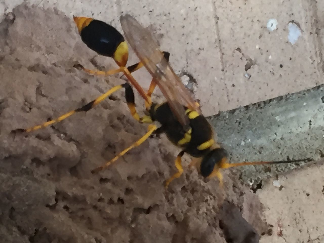 Making A Home Wasps Nest Wasp Black And Yellow  BANDED  Sting Mud Nest Insect Wings