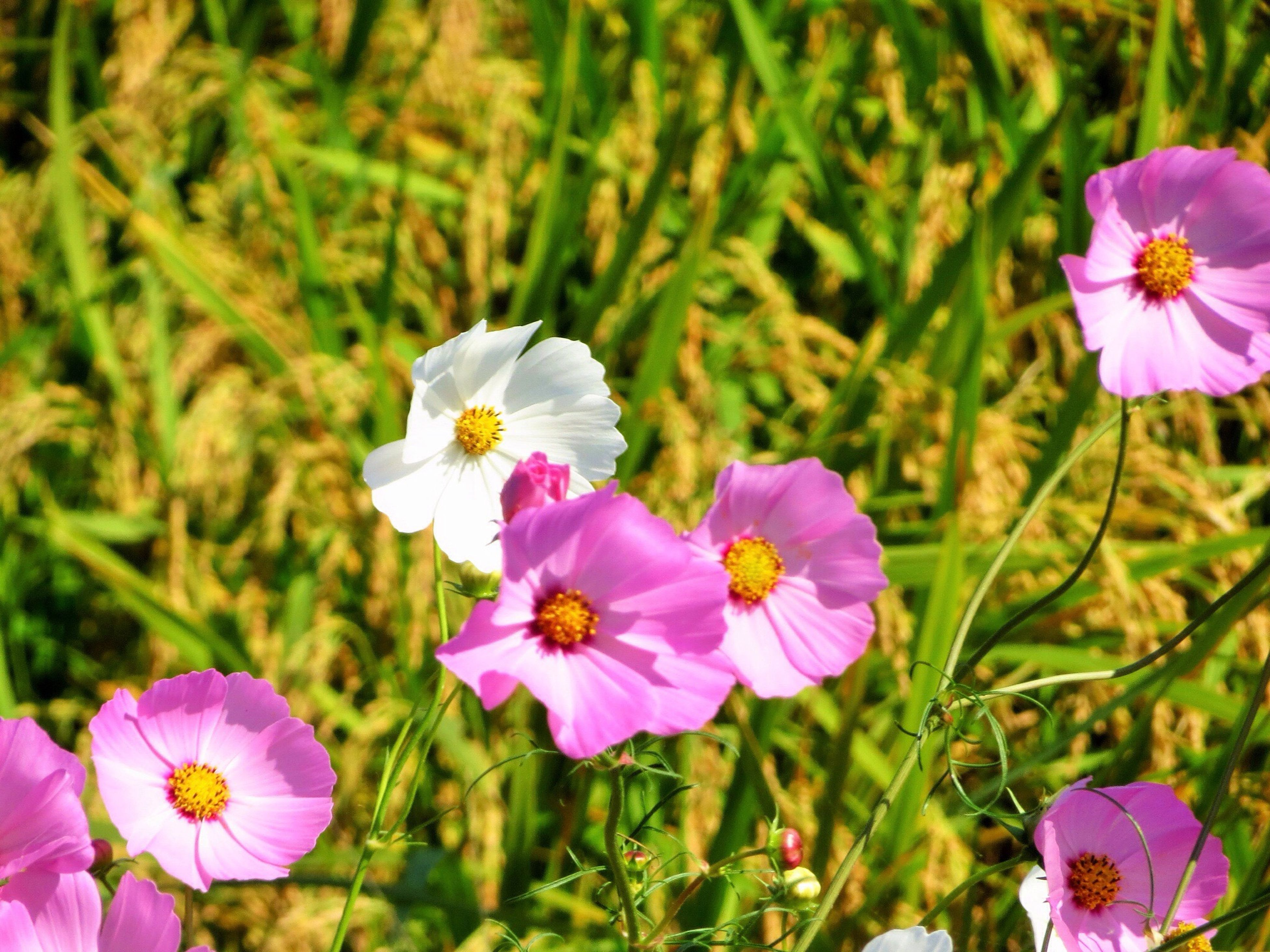 flower, freshness, petal, fragility, flower head, growth, beauty in nature, blooming, nature, focus on foreground, pollen, plant, close-up, field, pink color, in bloom, purple, stamen, blossom, stem