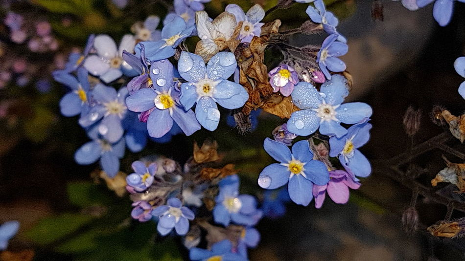 Forget Me Not Flower Fragility Petal Flower Head No People Close-up Nature Beauty In Nature Springtime Growth Outdoors Freshness Day Dew Drops