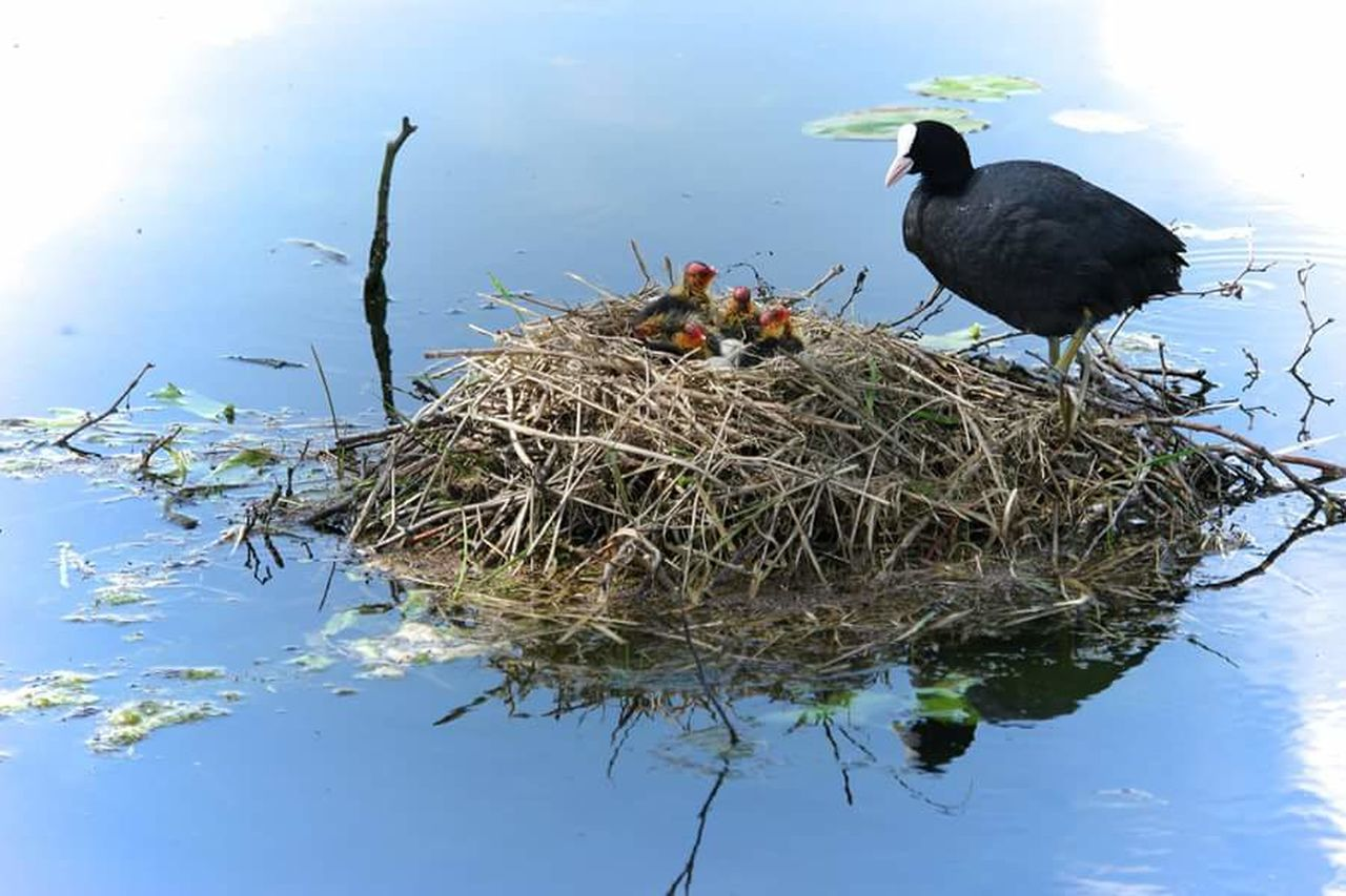 animals in the wild, bird, animal themes, lake, water, one animal, nature, animal wildlife, reflection, no people, day, bird nest, waterfront, outdoors, close-up